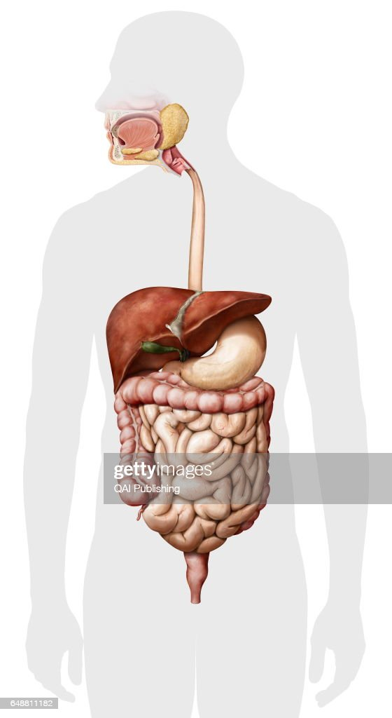 Overview of the digestive system Pictures | Getty Images