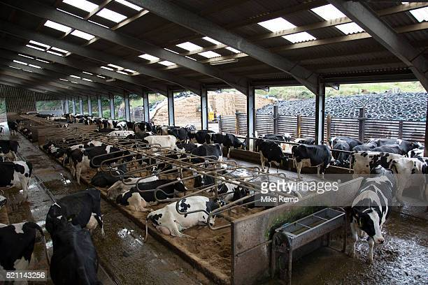 Overview of the main cow shed where the cows which are milking both pregnant and not pregnant spend their time The stalls are filled with sand to...