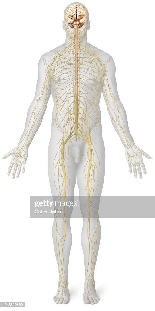 Overview Of The Nervous System The Nervous System Is Made Up Of Two