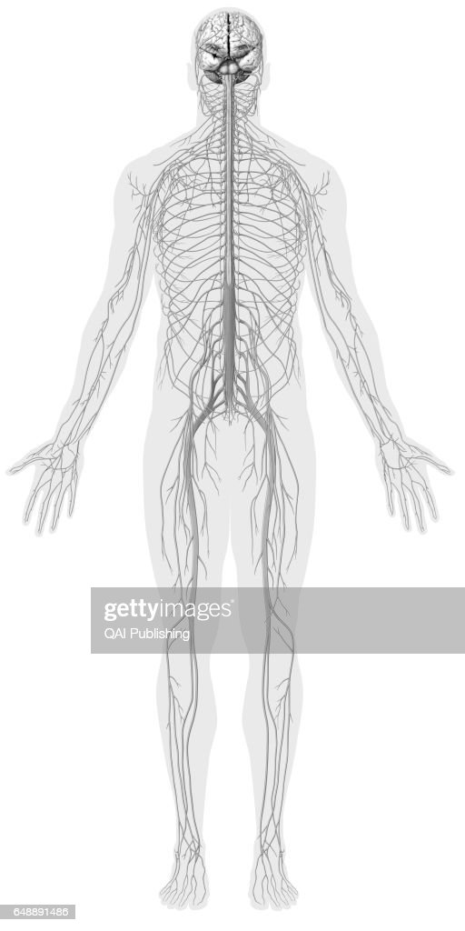 Overview Of The Nervous System Pictures Getty Images