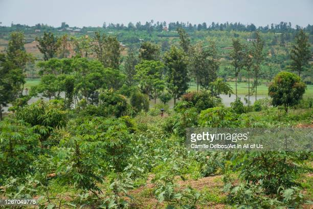 KAJEVUBA BUGESERA RWANDA SEPTEMBRE 20 Overview on a garden egg mango and cassava plantation on Septembre 20 2018 in Kajevuba Bugesera Rwanda