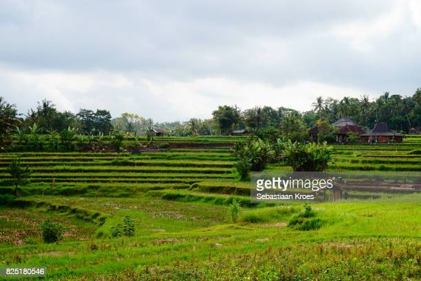 Overview on leveled rice fields in Ubud, Bali, Indonesia