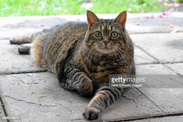 overweight tabby cat - fat cat stock photos and pictures