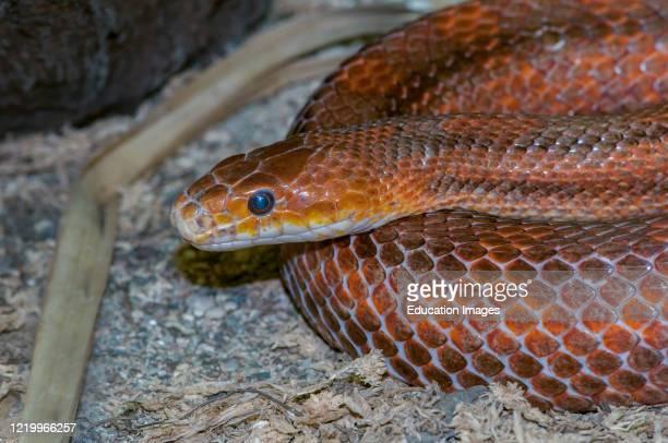 Owatonna Minnesota Reptile and Amphibian Discovery Zoo Everglades Rat snake Elaphe obsoleta rossalleni