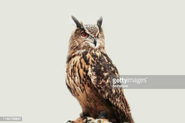 owl against white background - heshphoto stock pictures, royalty-free photos & images