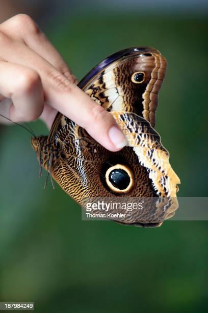 Owl Butterfly Caligo memnon at the butterfly farm Bosque Nuboso El Cocora