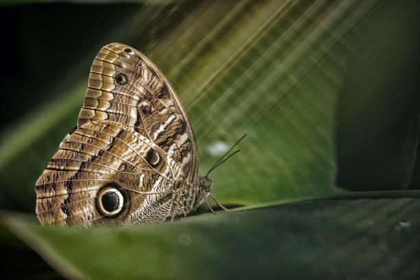 Owl butterfly on a leaf, Iguazu, Brazil