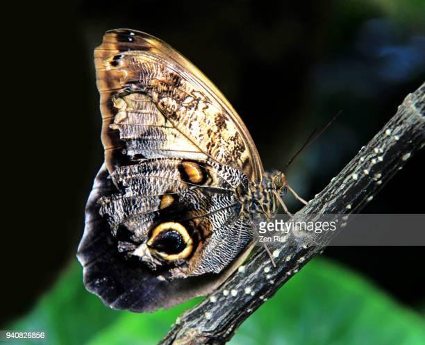 Owl Butterfly (Caligo memnon) perching on a stick