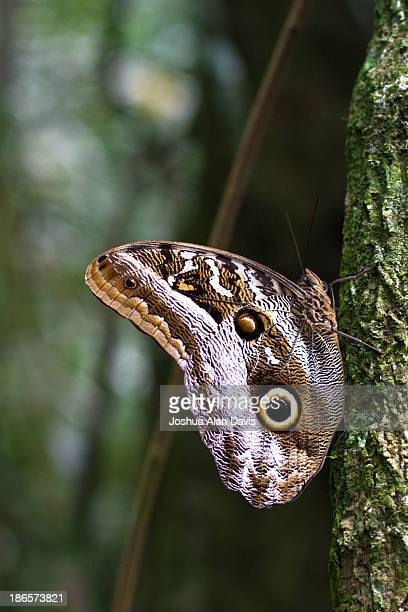 owl butterfly - joshua alan davis stock pictures, royalty-free photos & images