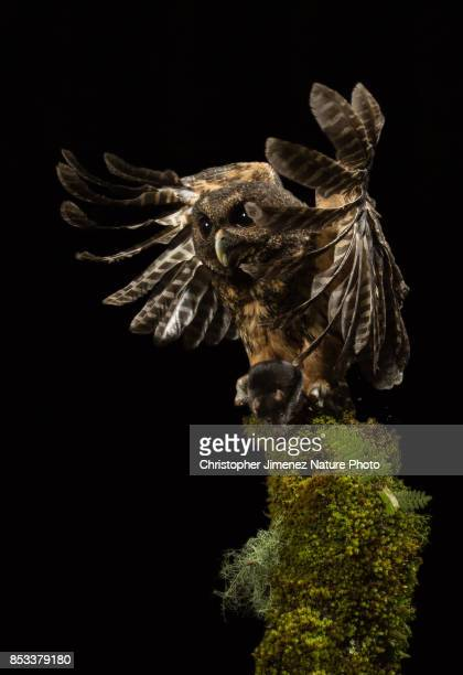 Owl caching a mouse at night