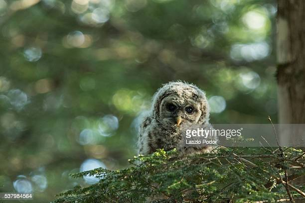 Owl chick on branch
