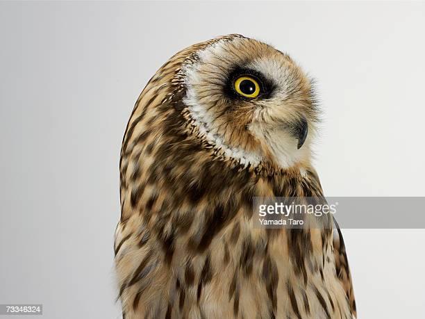 Owl (Strigformes), close-up
