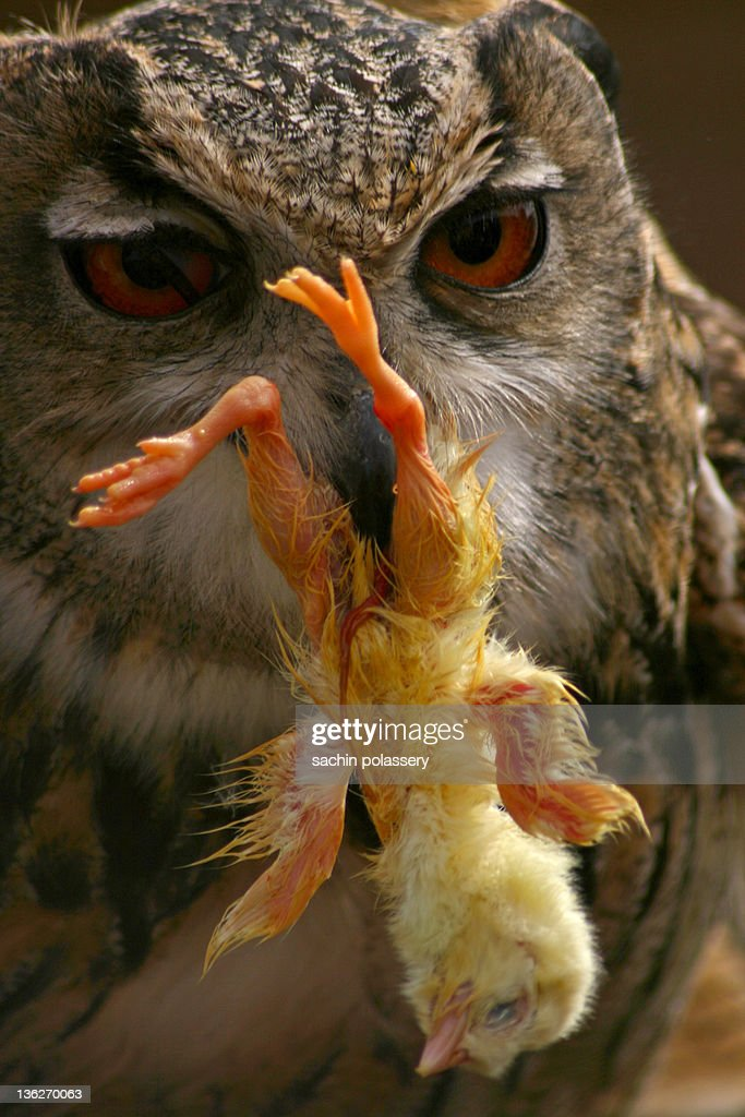Owl Eating Chicken Stock Photo Getty Images
