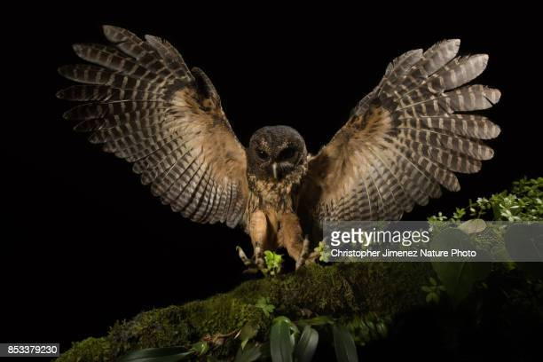 Owl extending its wings while landing in a branch