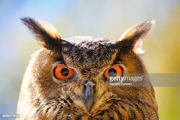 owl eye to eye - eurasian eagle owl stock pictures, royalty-free photos & images