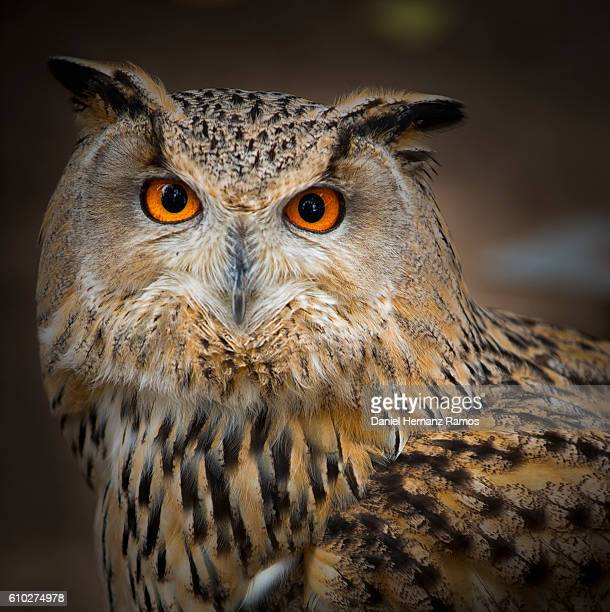 Owl eyes close up face detail. Eurasian eagle-owl. Bubo Bubo