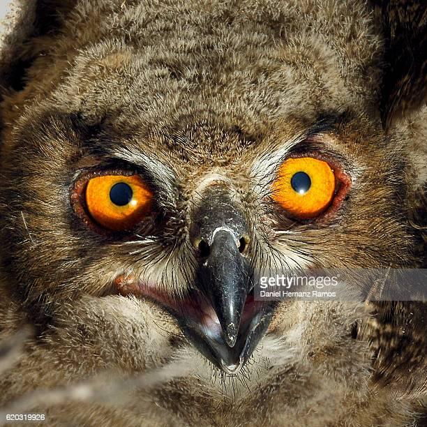 Owl eyes close up