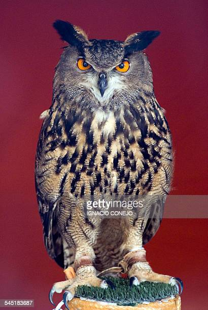 owl eyes - gufo reale foto e immagini stock