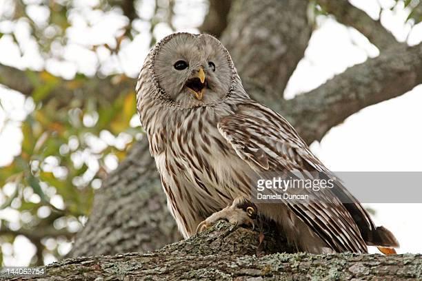 Owl hooting