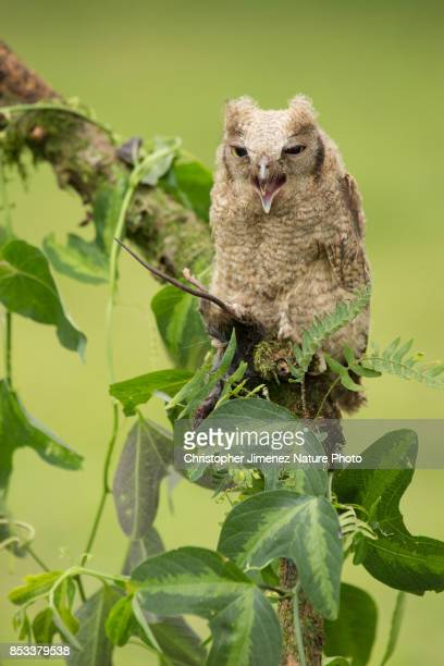 Owl hunting a mouse during the day