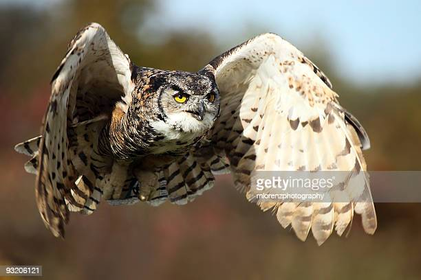 owl in flight - great horned owl stock pictures, royalty-free photos & images