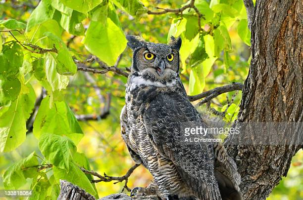 owl intensity - great horned owl stock pictures, royalty-free photos & images
