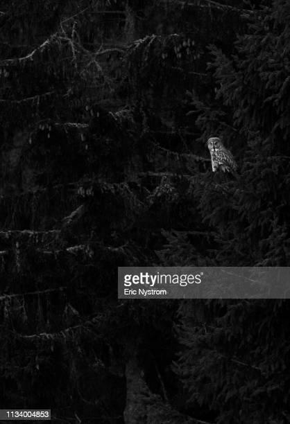 owl on the perch - fågel imagens e fotografias de stock