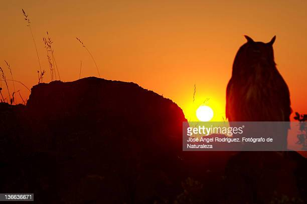 owl(bubo bubo) perched on sunset in mountains - fotógrafo stock photos and pictures