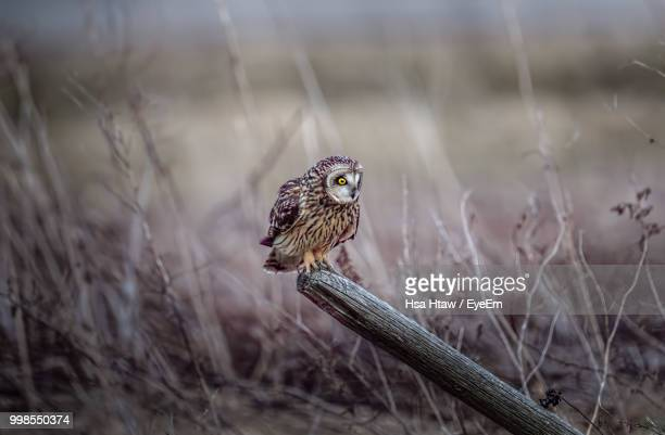 Owl Perching On Wooden Post
