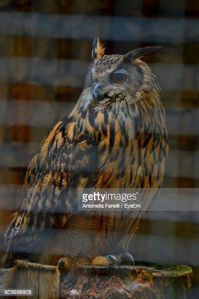 owl perching outdoors - antonella stock photos and pictures