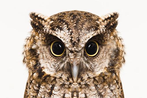 Owl 1067445602