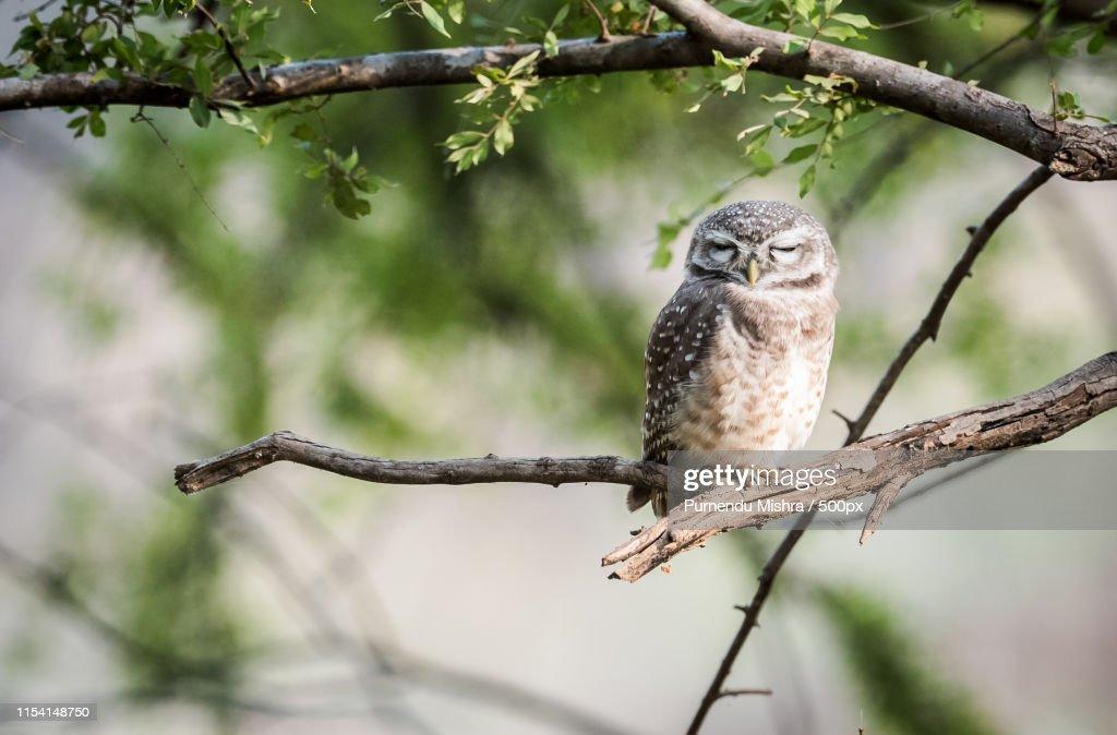 Owl : Stock Photo