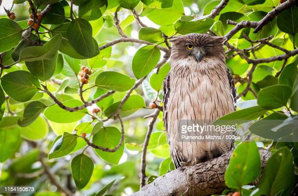 owl - nilgai stock photos and pictures