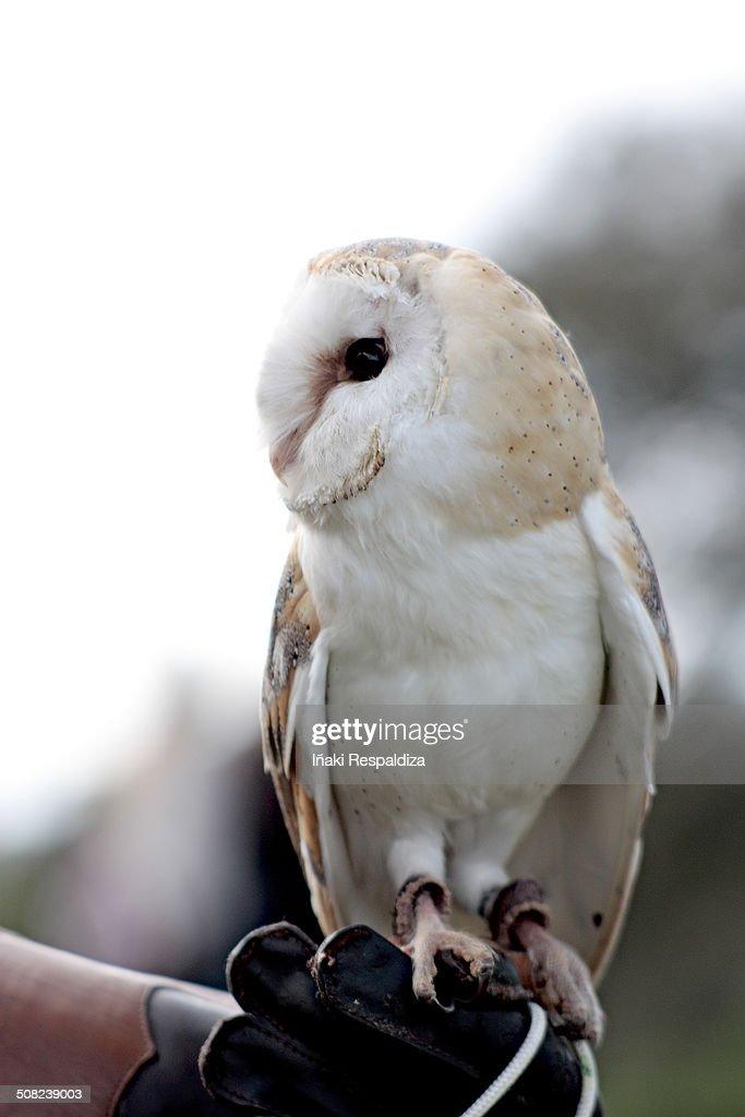 Owl (Tyto alba) : Stock-Foto