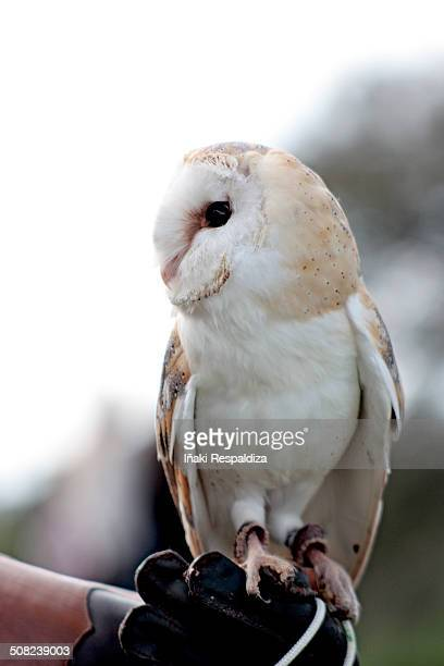 owl (tyto alba) - iñaki respaldiza stock pictures, royalty-free photos & images