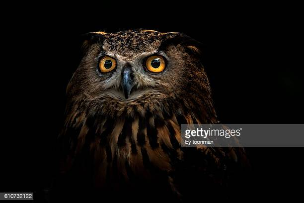 owl - animal eye stock pictures, royalty-free photos & images