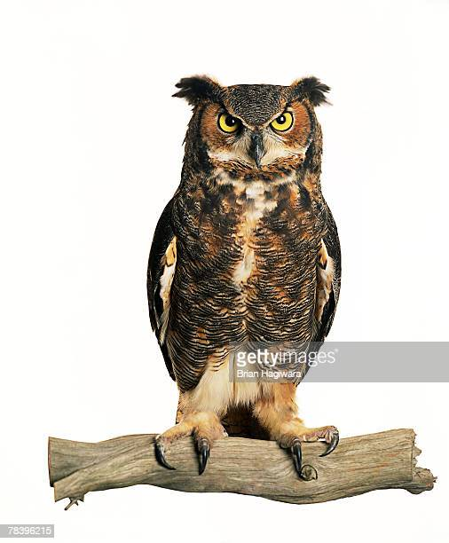 owl - great horned owl stock pictures, royalty-free photos & images