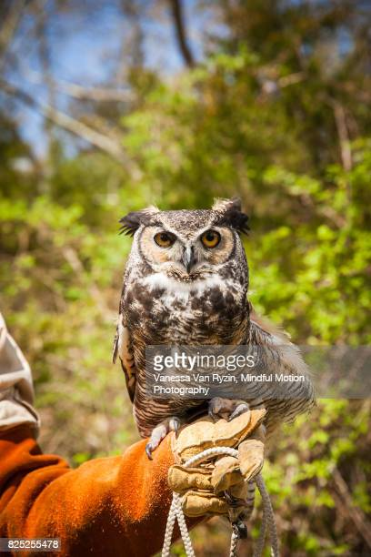 owl - vanessa van ryzin stock photos and pictures