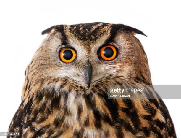 owl - big eyes fotografías e imágenes de stock