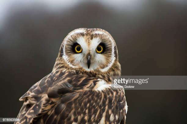 owl - フクロウ ストックフォトと画像