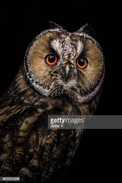 owl portrait - birds_of_prey stock pictures, royalty-free photos & images