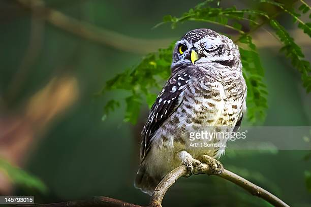 owl sitting on branch - prachuap khiri khan province stock pictures, royalty-free photos & images