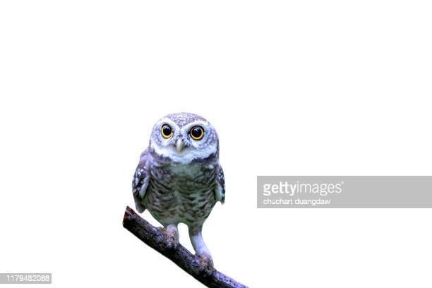 owl, spotted owlet(athene brama) looking at in nature with isolated background - linda rama fotografías e imágenes de stock