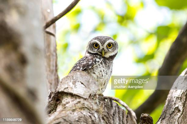 owl, spotted owlet(athene brama) - diosa atenea fotografías e imágenes de stock