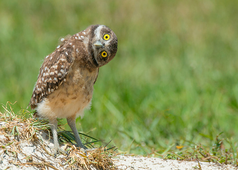 Owl tilting head listening with big open yellow eyes 527564619