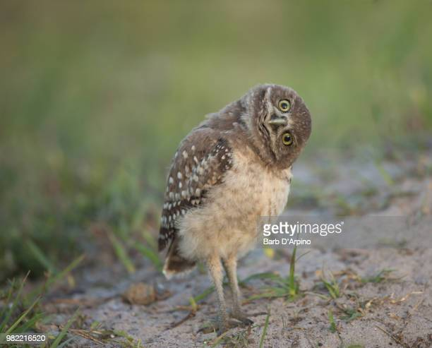 a owl with its head cocked - head cocked stock pictures, royalty-free photos & images