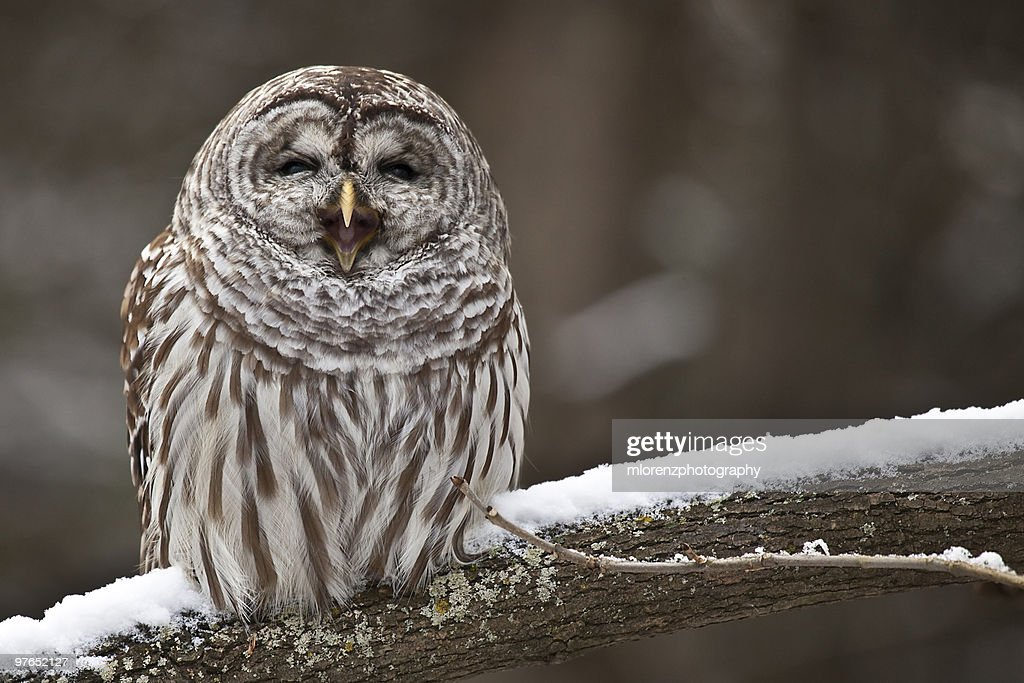 Owl yawning : Stock Photo