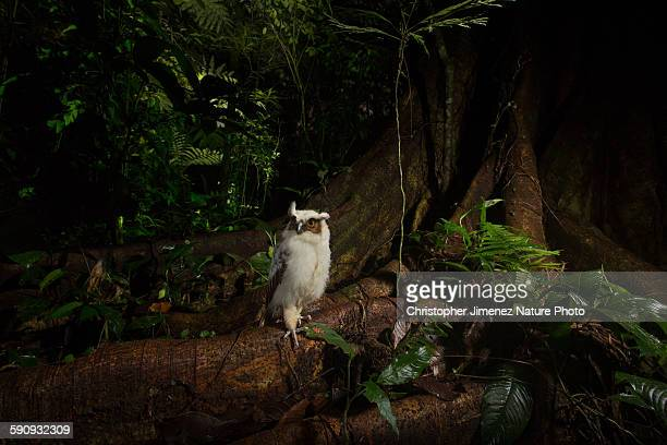 Owlet at the rainforest at night