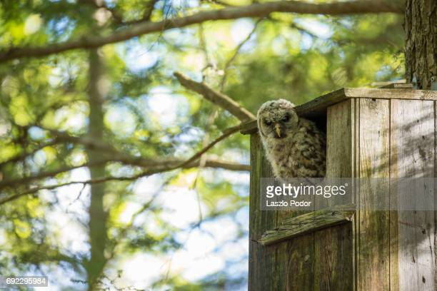 Owlet peeking out of the owl house