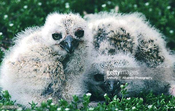 owlet triplet - hairy p stock pictures, royalty-free photos & images